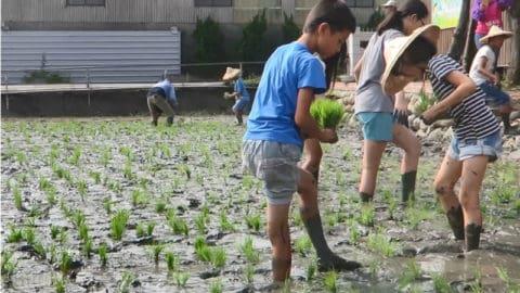 環境教育體驗插秧