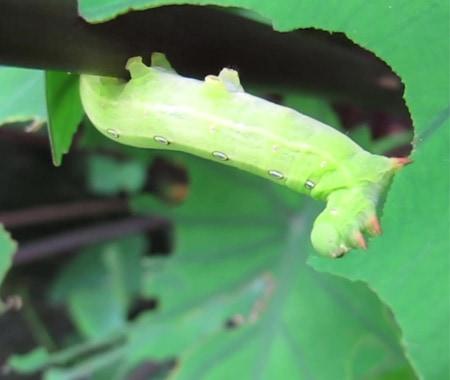 蟲蟲吃綠葉